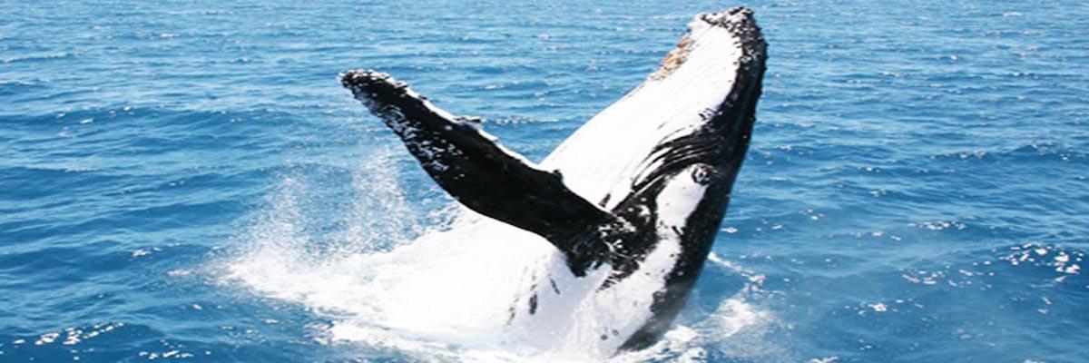 Hervey Bay Whale